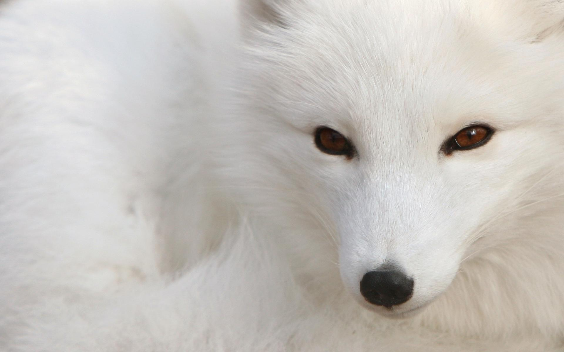 An arctic fox looking into the camera with white fur a black nose and